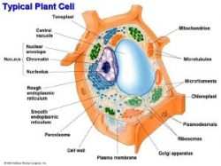 An annotated diagram of a typical plant cell.
