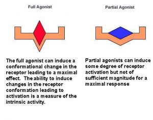 Two diagrams explaining the crucial functional and structural differences between a full agonist and a partial agonist. The captions read as follows. Full Agonist: The full agonist can induce a conformational change in the receptor leading to a maximal effect. The ability to induce changes in the receptor conformation leading to activation is a measure of the intrinsic activity. Partial agonist: Partial agonists can induce some degree of receptor activation but not of sufficient magnitude for a maximal response.
