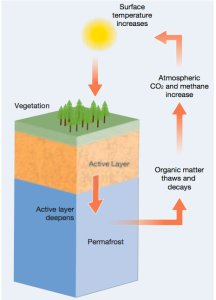 Diagram explaining the permafrost feedback cycle. As the active permafrost layer deepens, the organic matter thaws and decays due to rising surface temperatures. Consequently, the release of atmospheric CO2 and methane increases. And surface temperature increases. But as surface temperature increases, the organic matter trapped into the permafrost thaws, and decays, and the cycle continues...