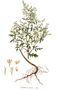 A botanical drawing of Artemisia annua.