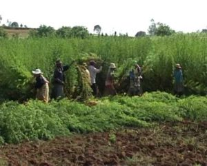 A photograph showing Malagasy farmers harvesting Artemisia annua.