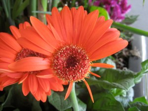 A photograph showing an imperfect orange flower missing some petals.