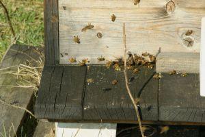 Bienen am Fluglich
