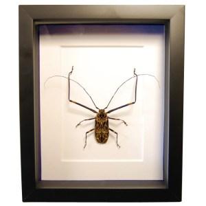 Frame-Harlequin-beetle-Acrocinus-longimanus
