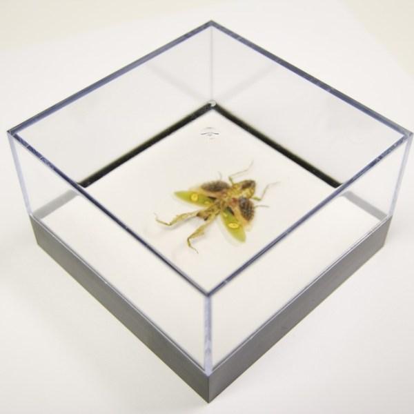 L Box Creobroter Gemmatus female praying mantis