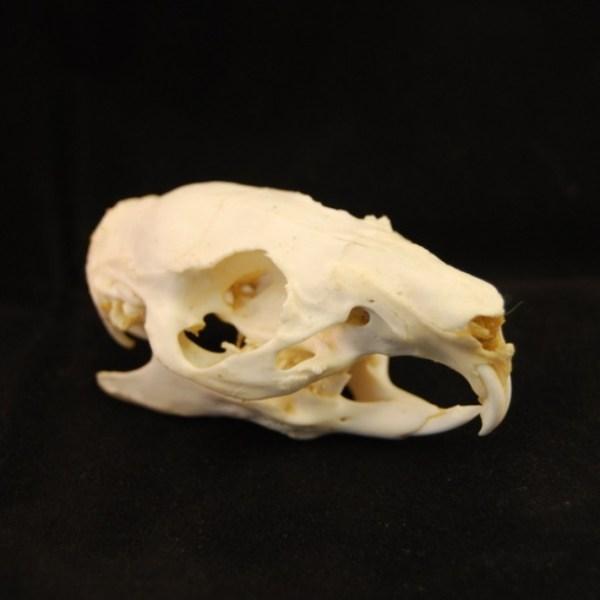 Skull Guinea pig