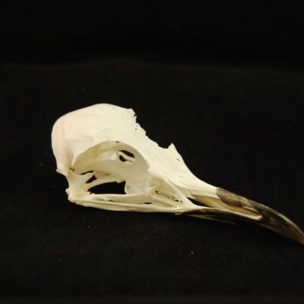 Skull - Kittiwake skull