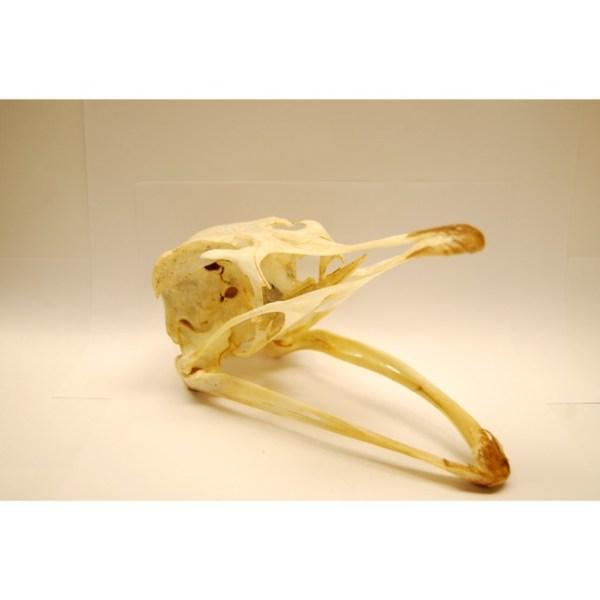 Skull Ostrich skull