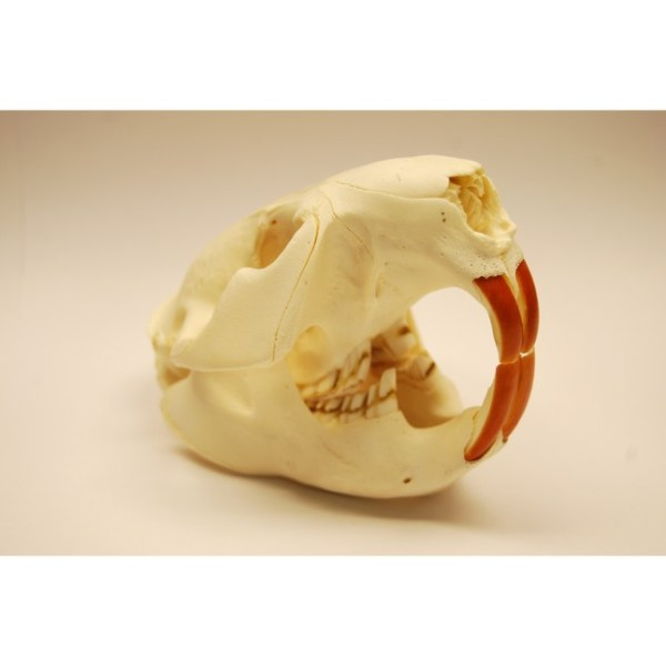 Skull XL Beaver skull