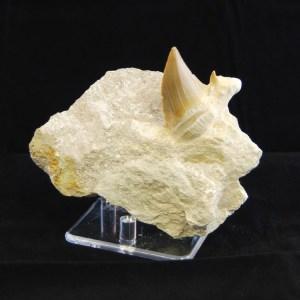prehistoric otodus shark tooth