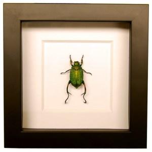 Frame-Chrysophora-chrysochlora-beetle