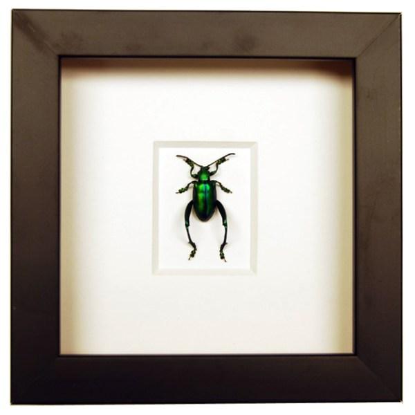 Frame-Green-Sagra-longicollis