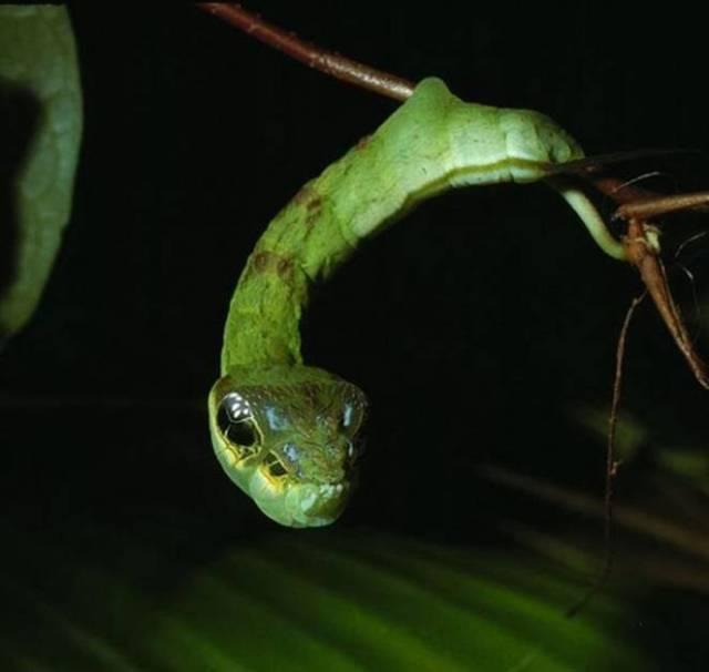 hemeroplanes-triptolemus-snake-mimicking-caterpillar-1.jpg.662x0_q70_crop-scale