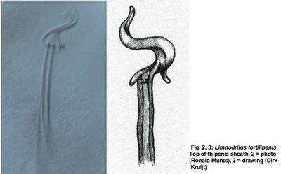 Limnodrilus tortilipenis
