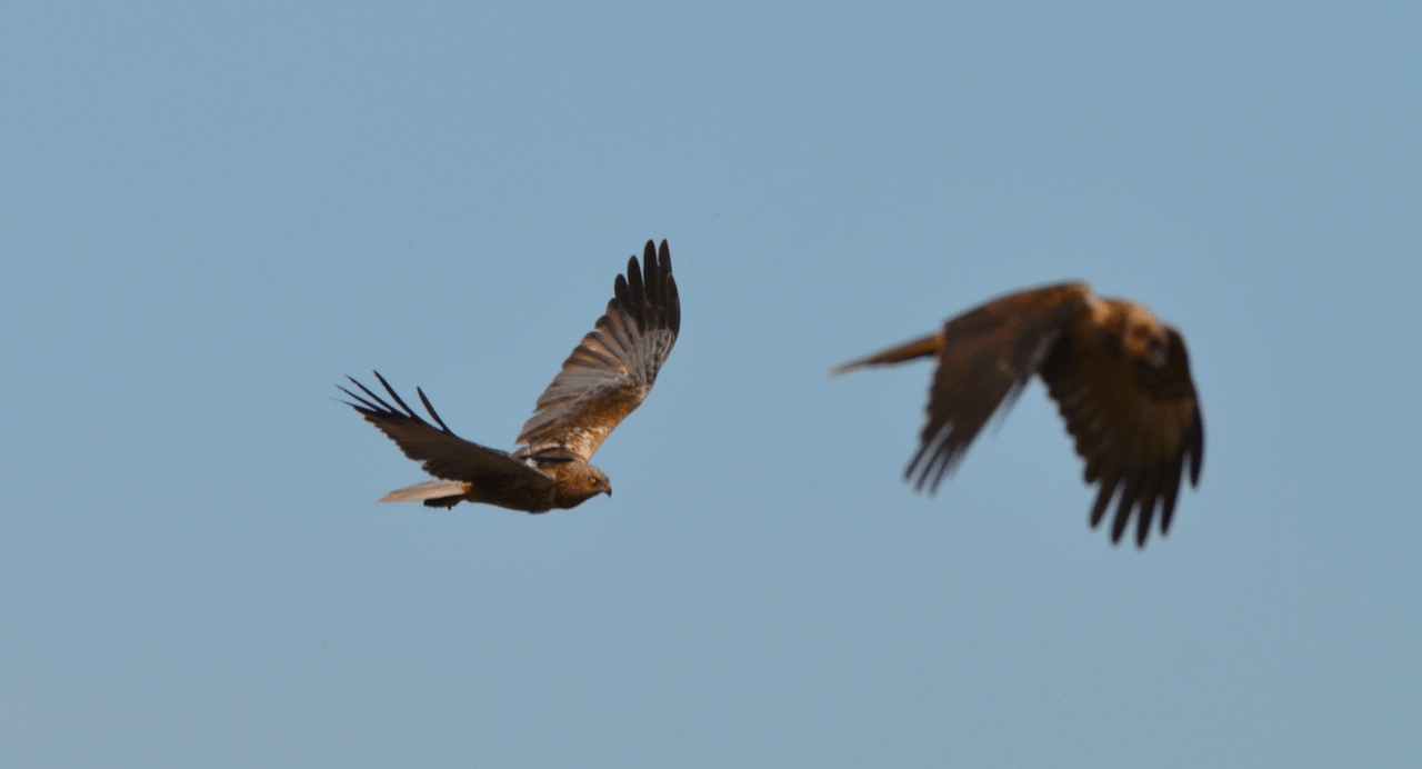 Marsh harrier Roelof and his female partner, photo by Ben Koks