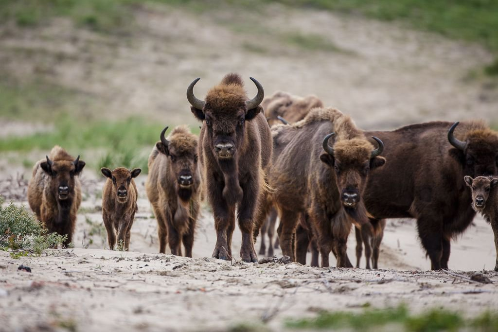 Kraansvlak European bison, photo by Ruud Maaskant
