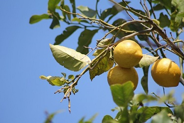 lemon-tree-299468