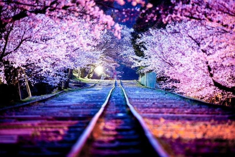 20 magnifiques photos de cerisiers pour