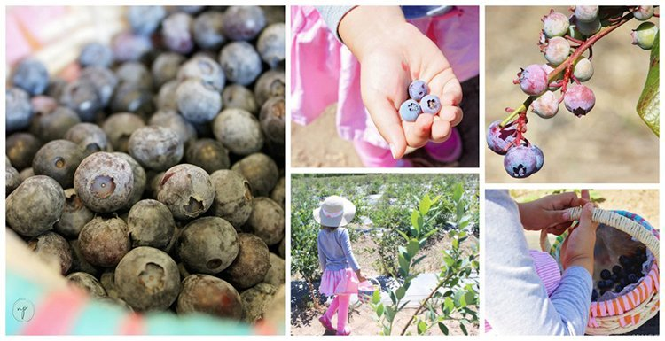 collage showing a picture of a girl blueberry picking and just the blueberries