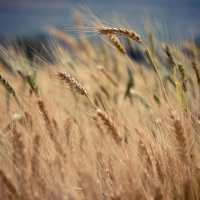 Life to Life Revolution | Doug Nuenke | Wheat blowing in the wind in a field