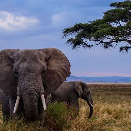 An African Elephant in the Serengeti
