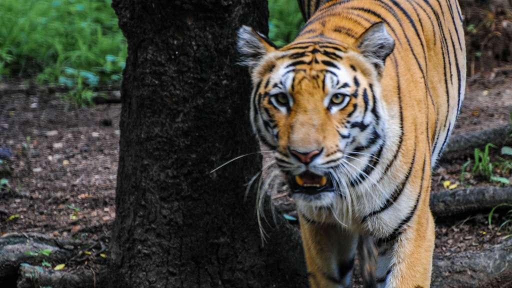 Bengal Tiger at the Hyderabad Zoo