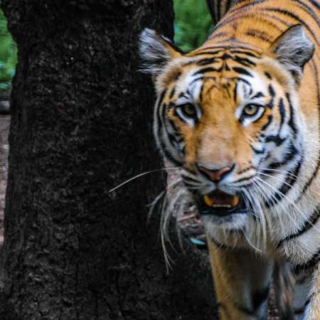 Bengal Tiger at the Hyderabad Zoo