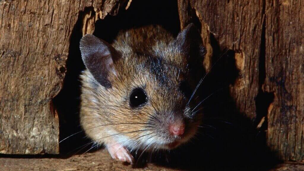 شركة مكافحة الفئران بالقصيم ببريدة بحائل
