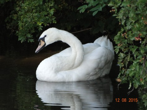 A lonely swan that has been cruising up and down near our current mooring