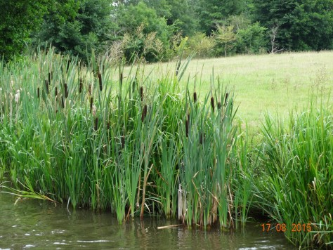 Bullrushes in abundance along the bank
