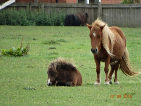 Shetland ponies enjoying the sunshine