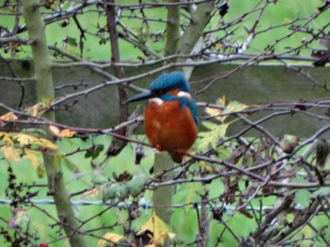 A posing kingfisher