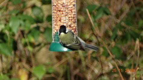 I think a great tit partaking of the free food on the nature reserve