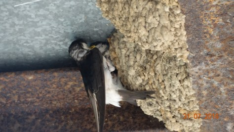 Swallow nesting in a building at the lavender farm