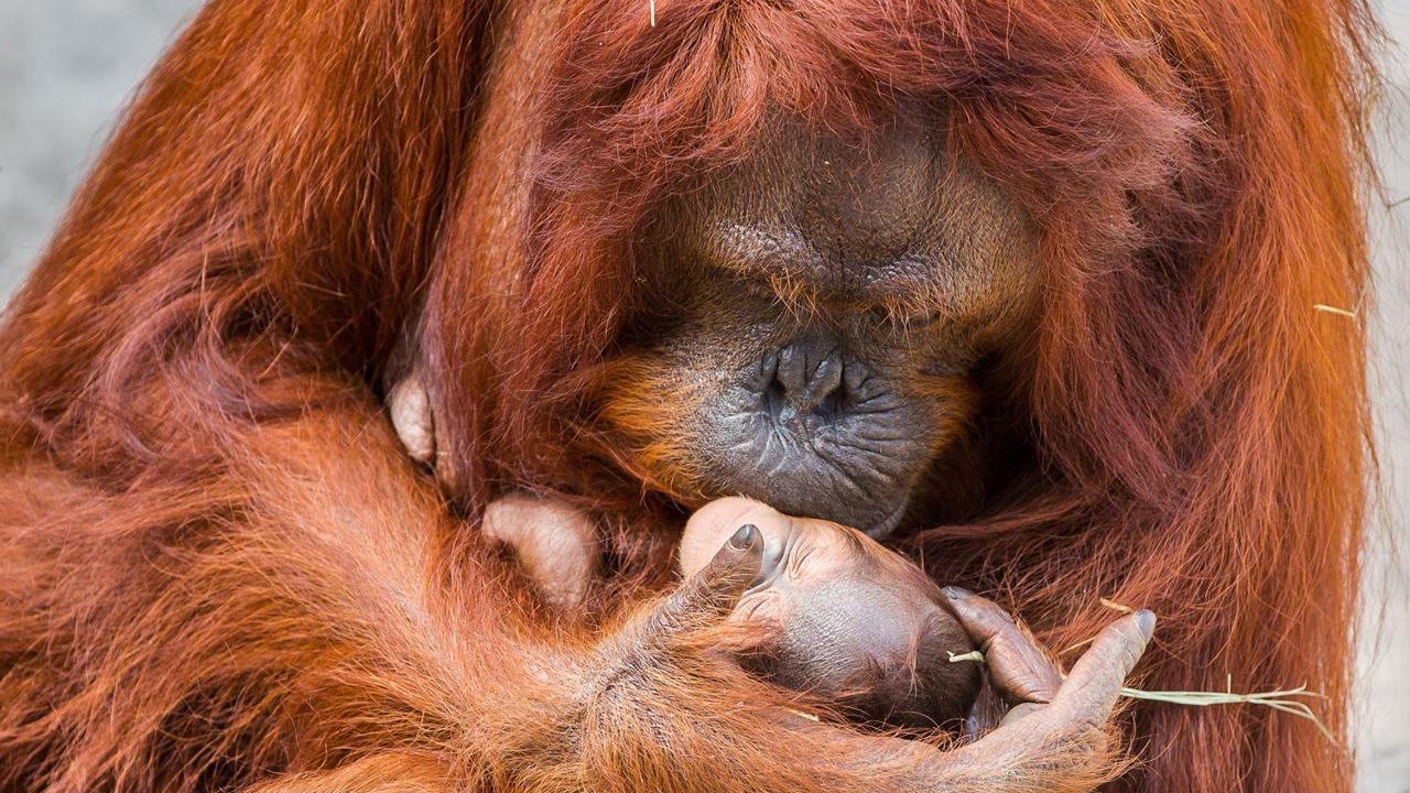 011618-orangutan-1280x720_380915