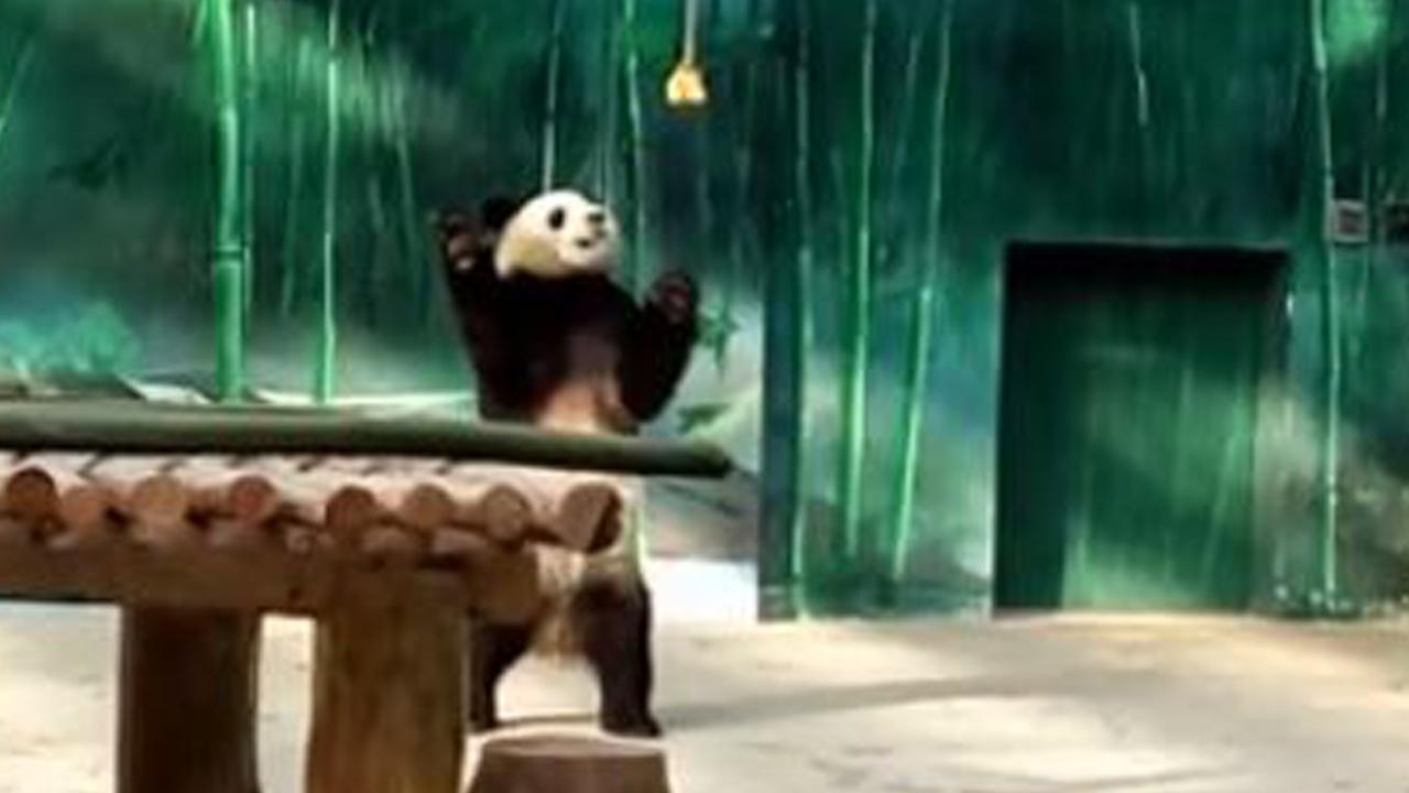 021118-panda-playing-1280x720_390964