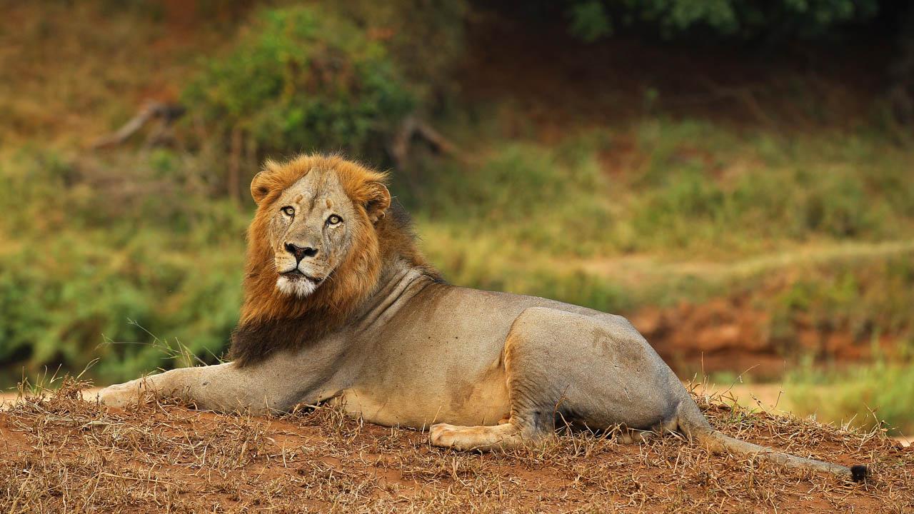 lion_391330