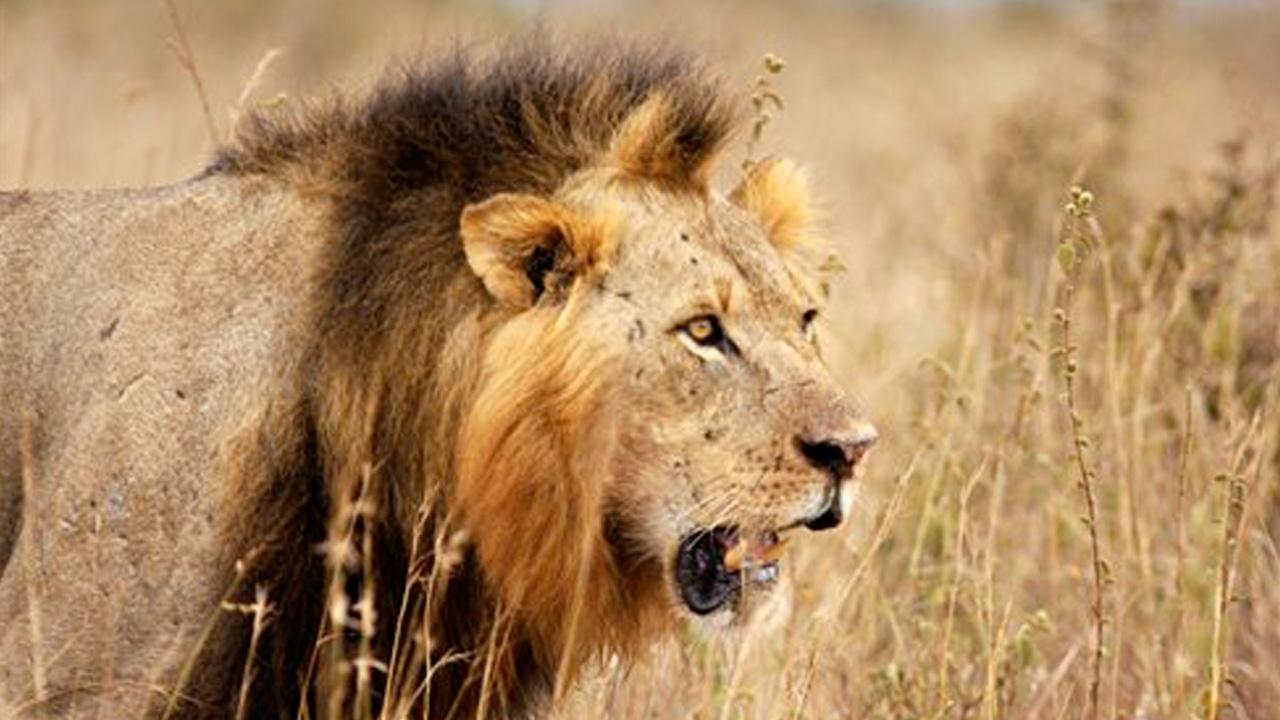 lion hunting_402168