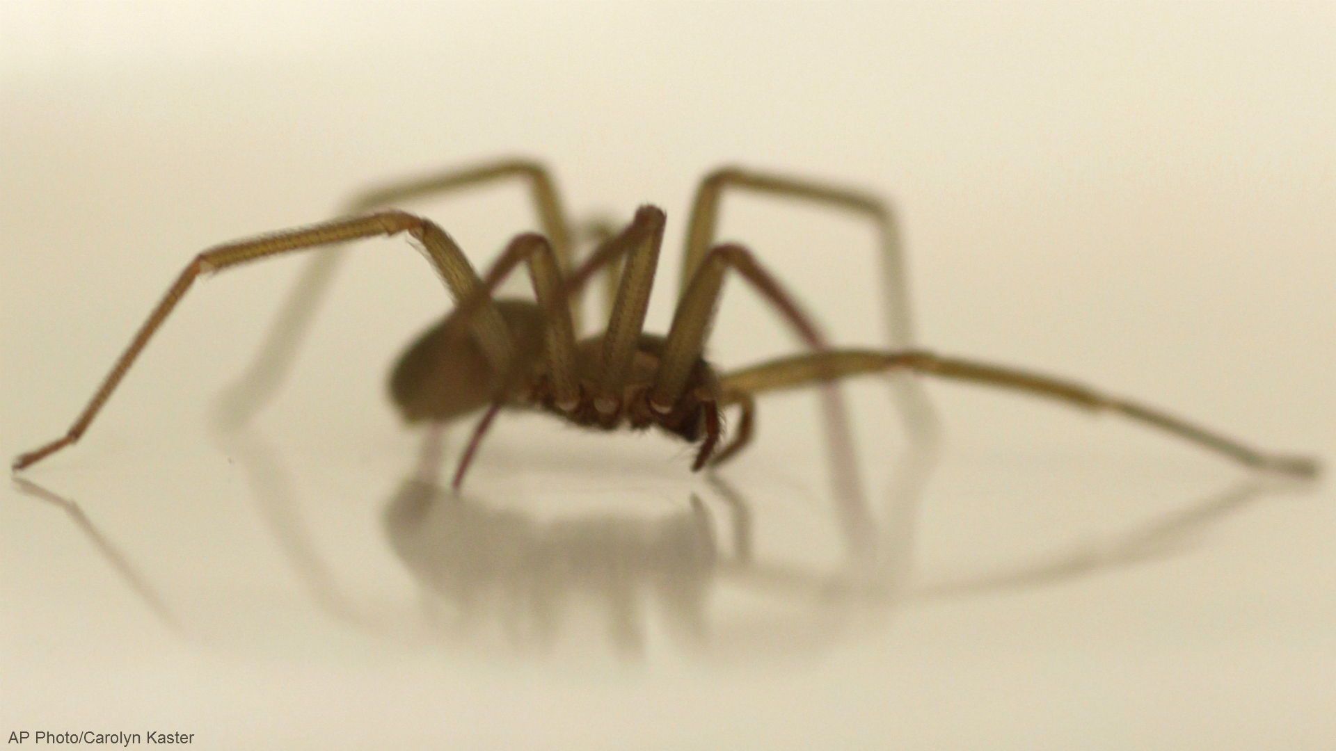 generic brown recluse spider_1529356551640.jpg-873702558.jpg