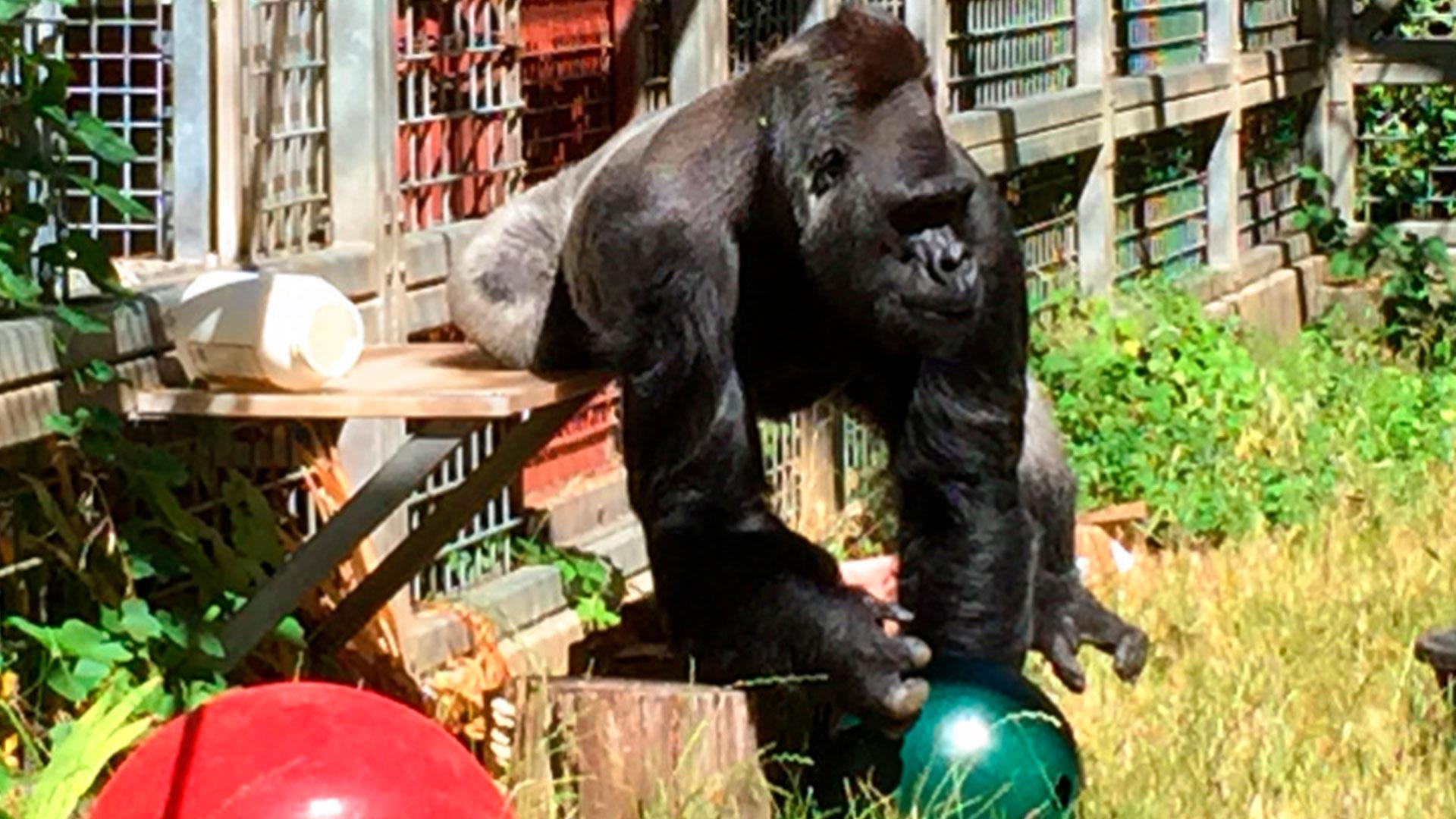 gorilla_1543891910989.jpg