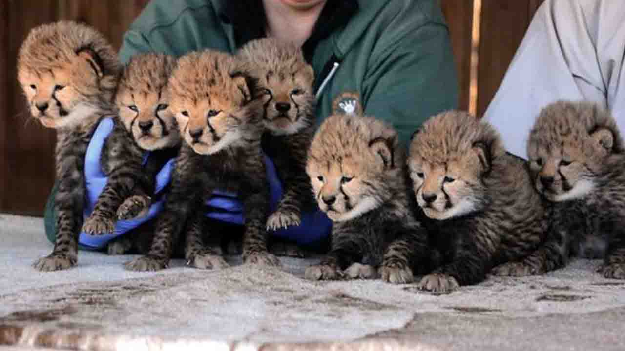 cheetah pic_1548587735064.JPG.jpg