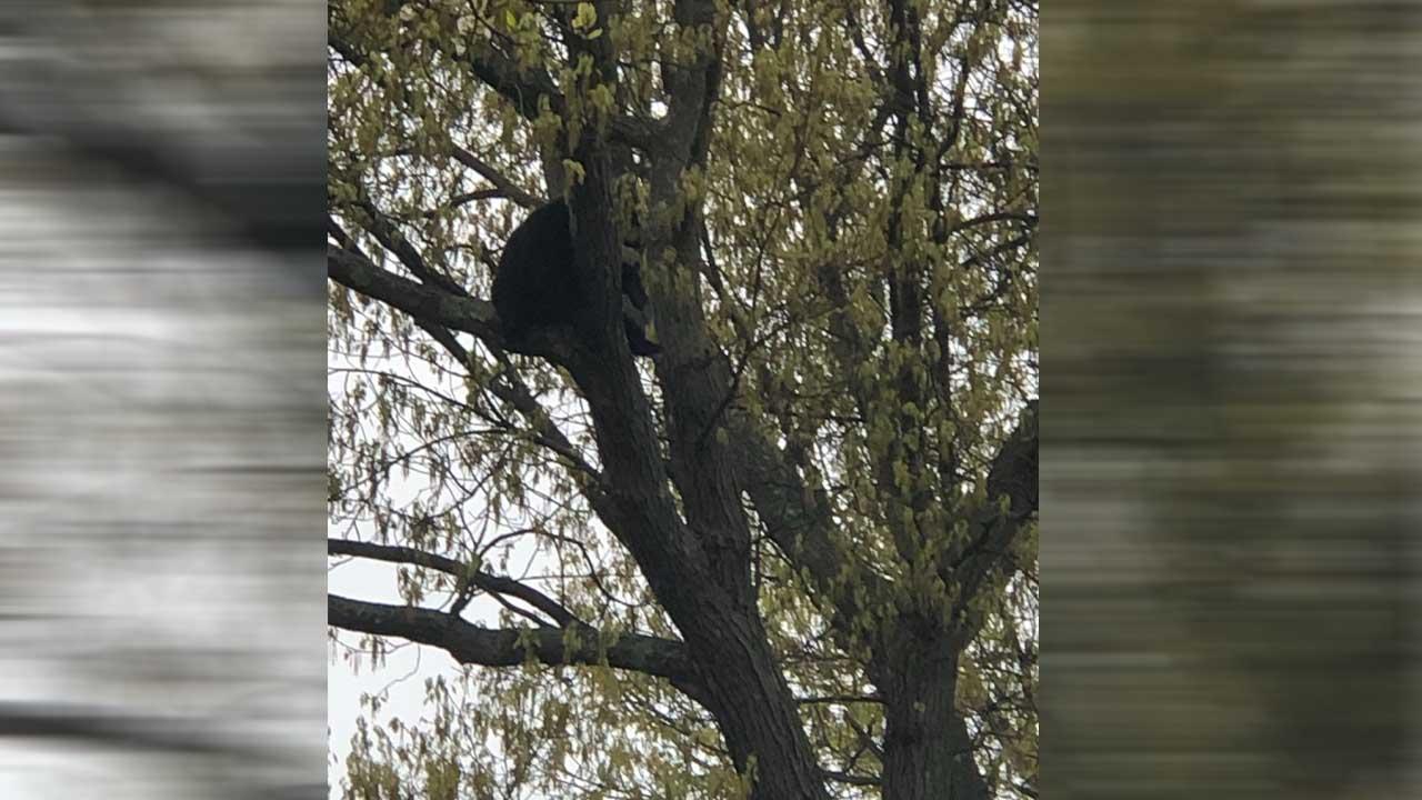 bear in tree_1558103337391.jpg.jpg