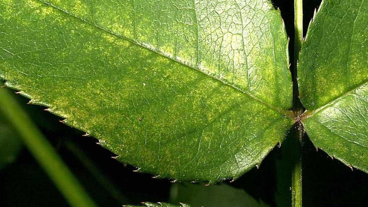 spider mites_1557943105190.JPG.jpg