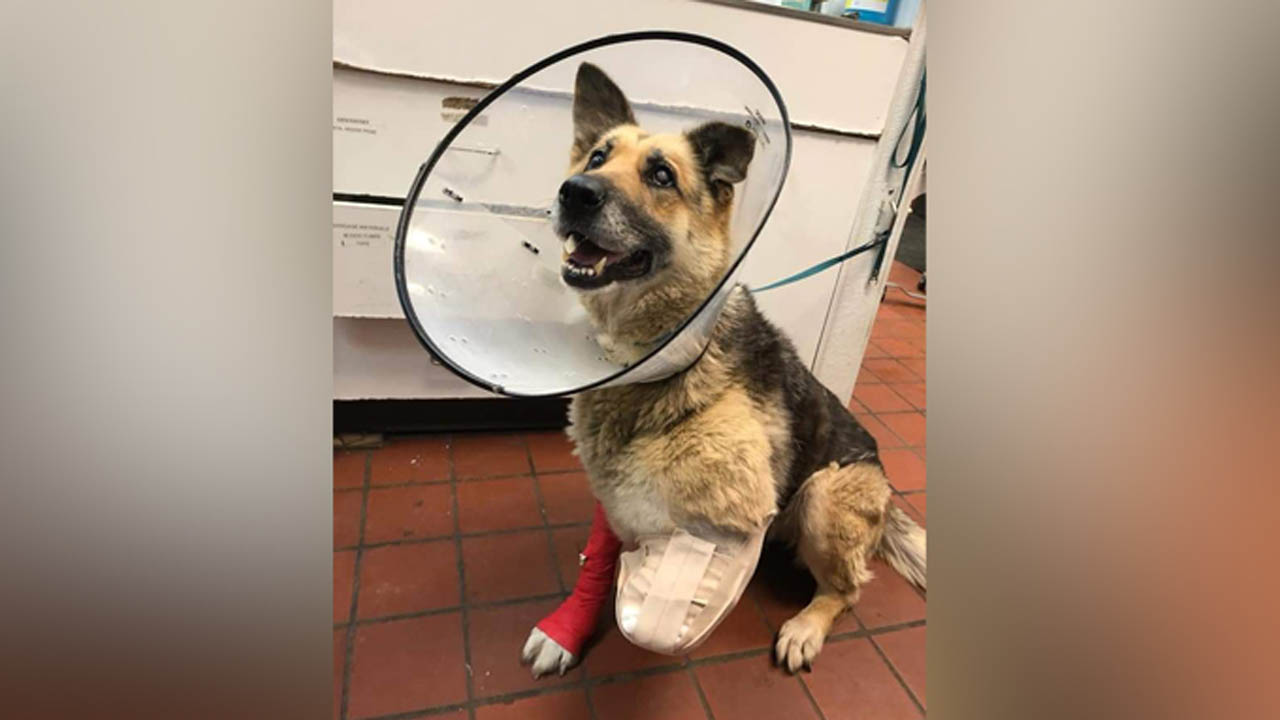 Police arrested a 59-year-old New York man after his abused pet dog chewed her left limb off, veterinarians believe. (New York State Police)