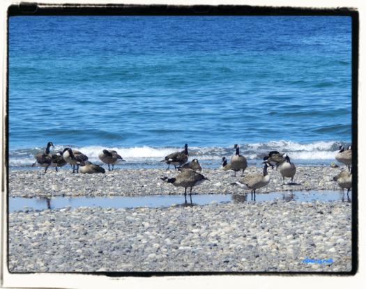 Beach geese