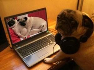Pug-caught-watching-pug-porn