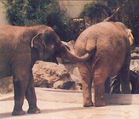 elephant-digging2