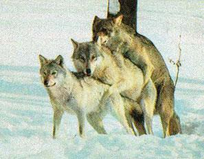 wolfsome2