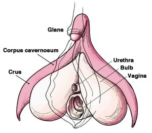 Clitoris Anatomy Labelled