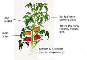 NCDA&CS Agronomic Division  Pictorial Guide to Plant